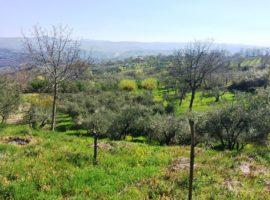 Terreno agricolo coltivato ad uliveto a Castelvetere sul Calore