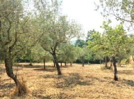 Terreno coltivato ad uliveto a Castelvetere sul Calore