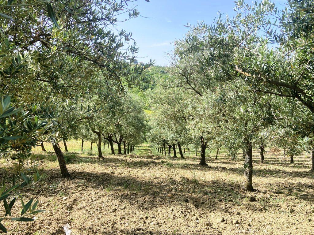 terreno-agricolo-coltivato-ad-uliveto-a-nusco