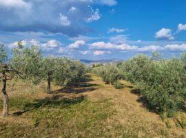 Terreno agricolo con ulivi a Grottaminarda